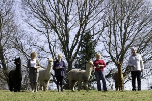 Alpaca walks in Sussex