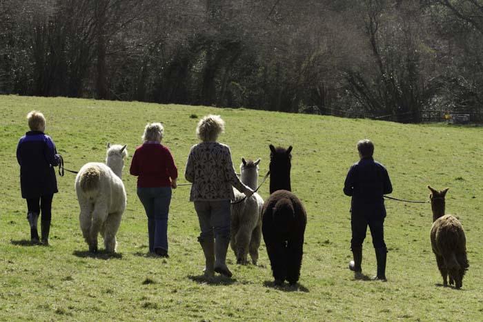 Walking Alpacas - image 7