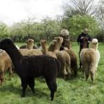 alpaca crias on our walk
