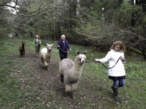 Walk with alpacas in our woodland