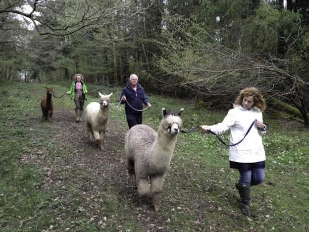 Walking Alpacas - image 2