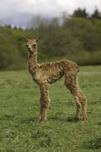 Female alpaca baby