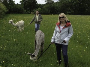 walk with friendly alpacas