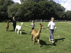 Walk alpacas in sussex