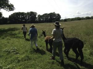 Walking alpacas in sussex