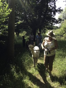 things to do in Sussex - walk with alpacas