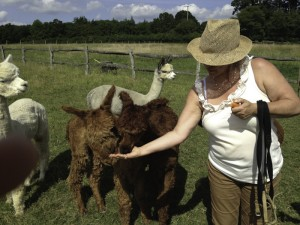 Feeding alpacas after a walk