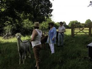 walking alpacas in the UK