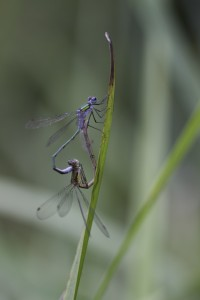 Damsel flies seen on alpaca walk in Sussex