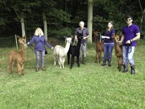Our alpaca walking team