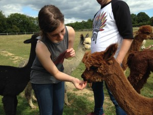 Feed our alpacas after a walk