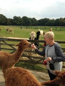 Feeding carrots to our friendly alpacas