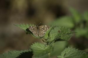 See butterflies in Sussex