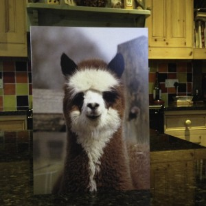 Gordon - the panda faced alpaca