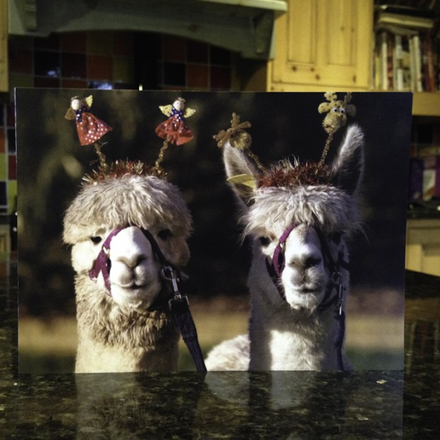 Alpacas at Christmas