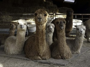 Female alpacas with babies at our holiday let in East Sussex