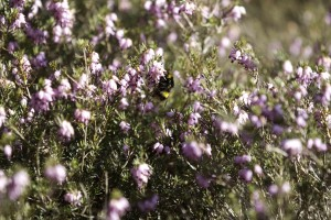 bumblebees in Sussex