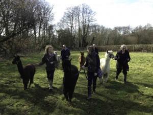 Walk alpacas in sussex in the spring