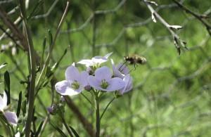 Cuckoo Flower with bee fly feeding
