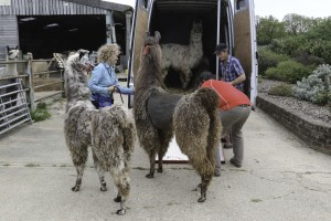 Llamas arriving in the UK