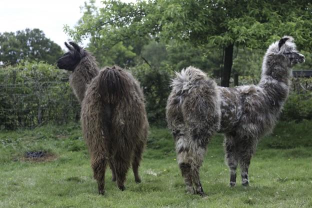 2 female llamas in Sussex