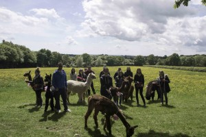 Alpaca walk on a hen party