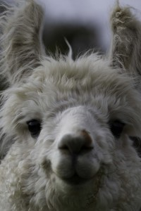 Young male llama in East Sussex