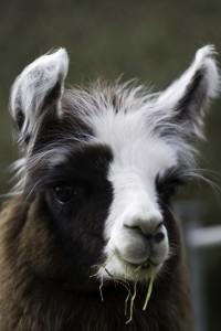 Male llama in Sussex