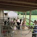 Alpacas at hen party