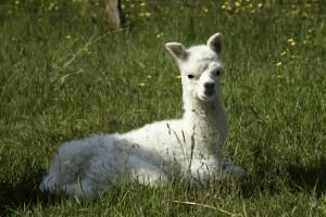 Alpaca cria born at Spring Farm