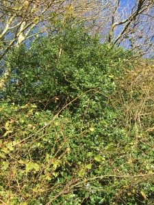 See holly bushes whilst on an alpaca trek