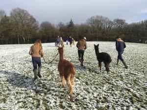 Walk alpacas in the snow in winter