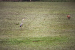Fox stalking a grey heron