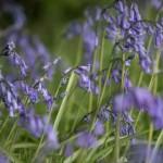 Bluebell wood in full bloom
