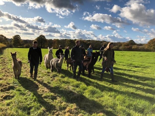 Walk with alpacas in sussex