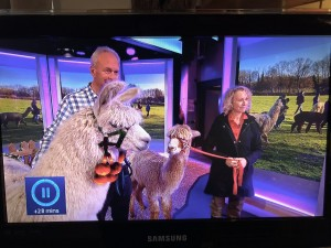 Llama and alpaca live on The One Show - a grand day out