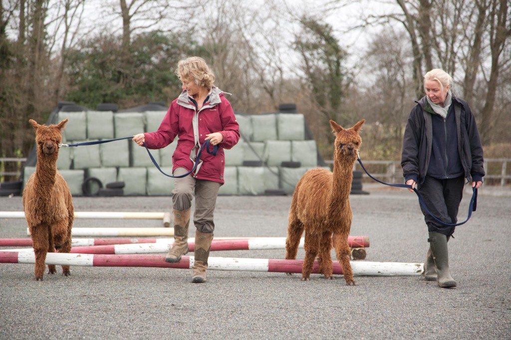 Alpaca open day