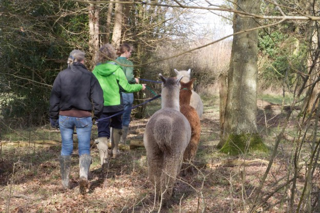 Great fun with alpaca walking