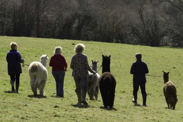 Alpaca walking in Sussex