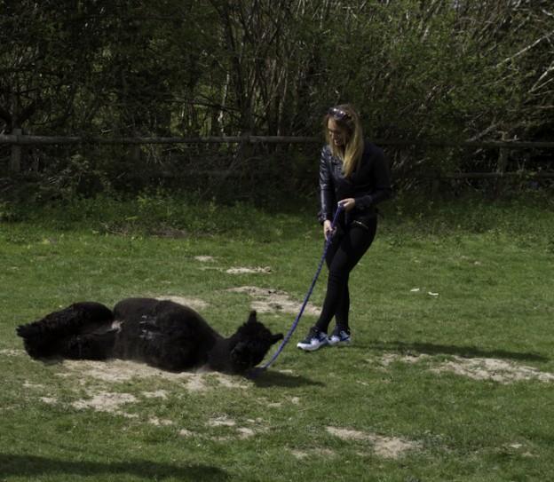 Walking black alpacas