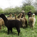 alpaca crias on our walk