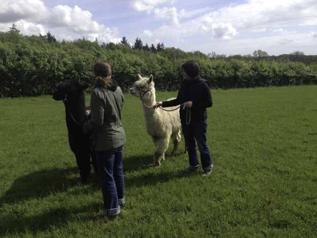 Walk with alpacas in Sussex