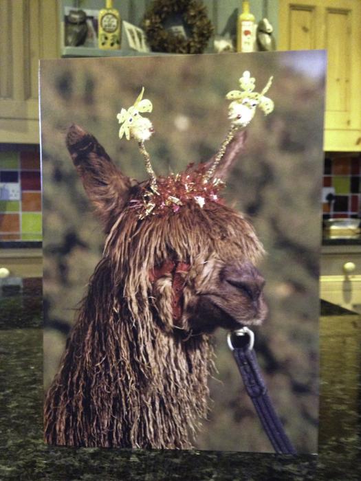 Suri alpaca christmas cards