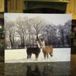 Two youn alpacas playing in the snow