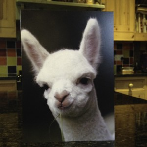 Female alpacas for sale in Sussex