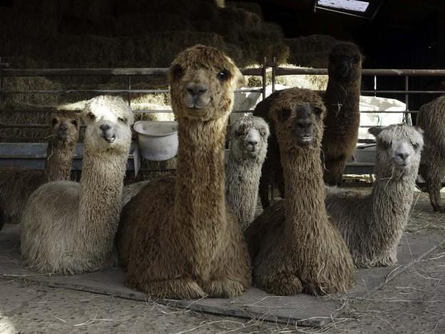 Female alpacas with babies in East Sussex