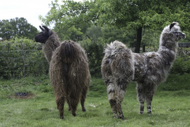 2 female llamas in Sussex