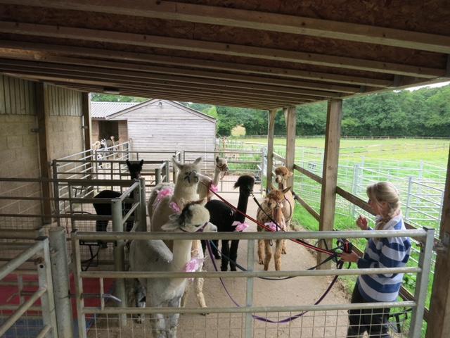 Alpacas at hen party