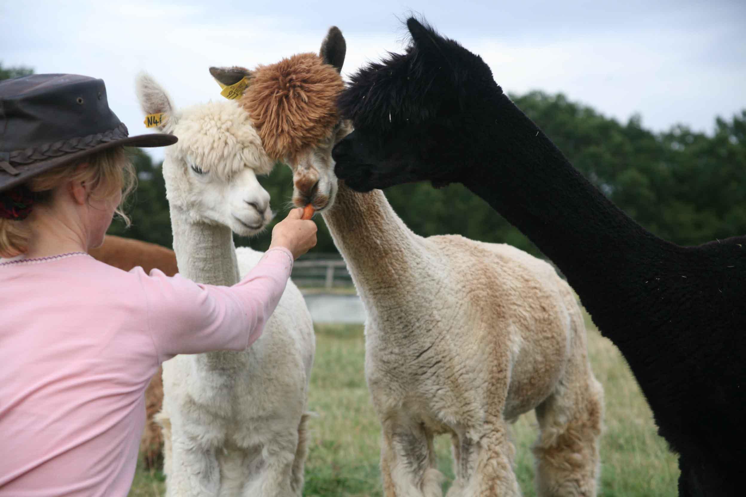 friendly alpacas to adopt