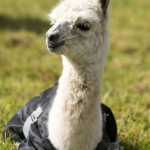Baby llama at Spring Farm Alpacas